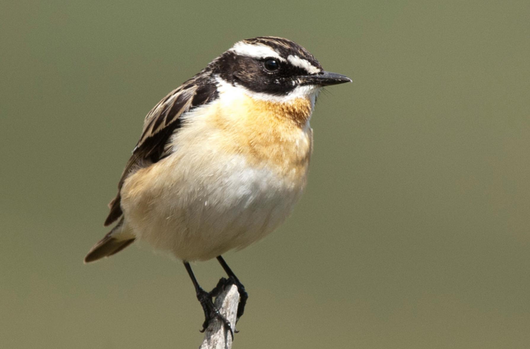 Das Braunkehlchen findet im Naturschutzgebiet beste Brutbedingungen