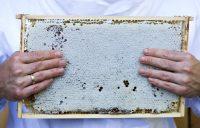 Bienen sind wahre Wabenkünstler