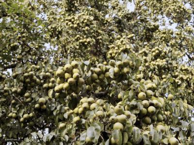 Birnenbaum tragend